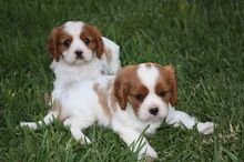 Looking for a Female Cavalier King Charles Spaniel puppy. Coolaroo Hume Area Preview