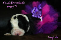 Bernedoodle puppies just arrived !! Only 2 left  !!