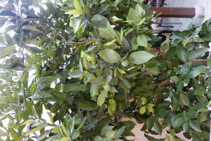 ORANGE TREE FOR SALE