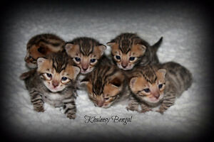 bengal snow lynx and brown (black) tabby