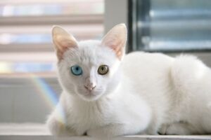 lost: white cat Carleton Place