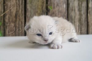 PEDIGREE BLUE MINK RAGDOLL KITTEN Pleasure Point Liverpool Area Preview