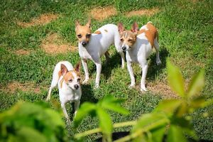 Mini Toy Rat Terriers for sale