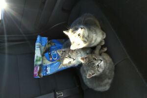 * Christmas Kittens!!! 3 left * 9 weeks old