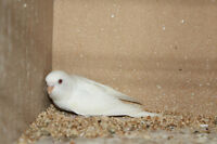Young Budgie for Sale