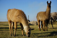 2 good weanling male Llamas available