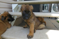 SUPER RACE CHIOTS BELGE MALINOIS