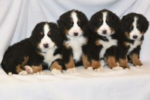 Bernese Mountain Dog Puppies CKC