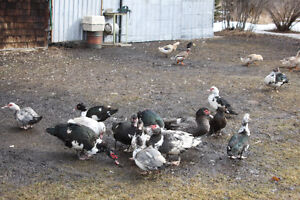 Muscovy & other ducks for sale