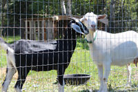 Goats for sale in Quesnel