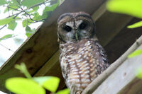 Exclusive Northern Spotted Owl Breeding Facility Tours