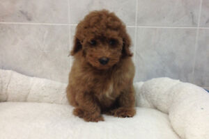 One Adorable Miniature Poodle Puppy