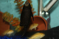 African cichlids - yellow labs and moori dolphins