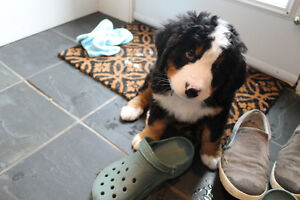 CKC Bernese Mountain Dog Puppies - Available now