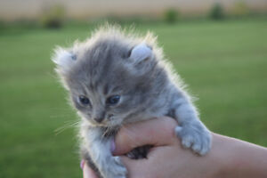 Exotic Blue Highland Lynx Polytactyl Curled Ear Kitten -Reserved
