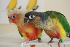❤★❤ Adorable,Tame CONURE Babies With CAGE❤★❤ Cambridge Kitchener Area image 6