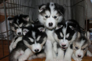 Husky/Malamute puppies