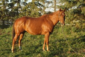 2009 Sorrel Quarter Horse Gelding