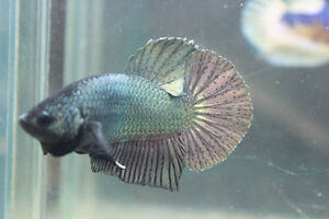 Betta kijiji free classifieds in markham york region for Giant betta fish for sale