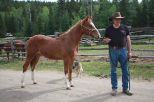 2016 AQHA sorrel gelding with lots of chrome, Hancock bred