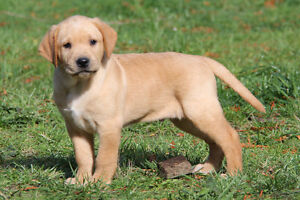 Hybrid retriever puppies available!