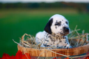 Registered Dalmatian Puppies: 4 females available