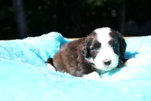 STANDARD BERNEDOODLES ARE HERE!! No Waiting list