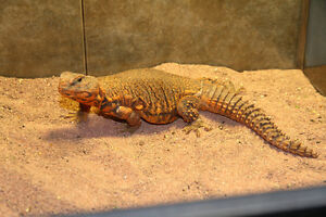 Uromastyx Lizard, Terrarium, and Supplies for Sale