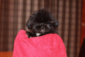 Adorable Shih-Tzu Puppy
