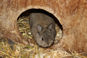 Purebred Netherland dwarf baby bunny for sale