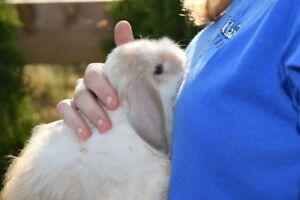 Super Cuddly Fuzzy Purebred Holland Lop!!!