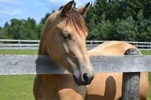 SWEET PLEASURE & TRAIL RIDING HORSE/LARGE PONY FOR SALE