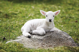 Looking to rent baby lambs for Easter Photo Shoot $100