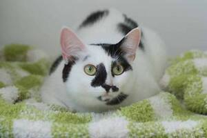 AK0737: Xena - CAT for ADOPTION - Vet work included Alkimos Wanneroo Area Preview