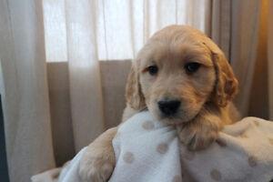 1 Male Golden Retriever Pup Ready to roll Jan 17!