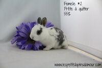 Bébés lapins mini-rex (nain) FEMELLES prêtes à quitter :)