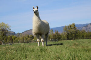 "Looking for ""llama love"": llama stud service wanted"