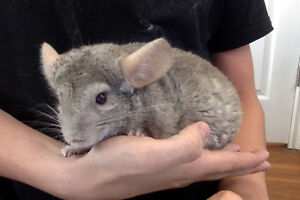 Friendly Beige Chinchilla