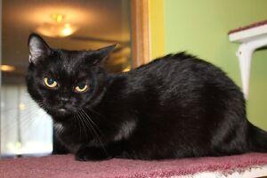 Adult Munchkin Cat Regina Regina Area image 5