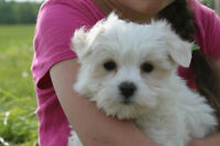 Cuddely Maltese puppies looking for their new homes