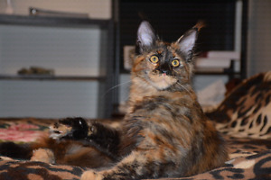 MAINE COON KITTEN  (pure breed, registered )