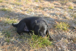 Beautiful lab puppies for sale