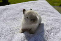 Pedigreed Holland Lop and Netherland Dwarf Babies...!