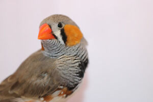 Home wanted for special needs zebra finch