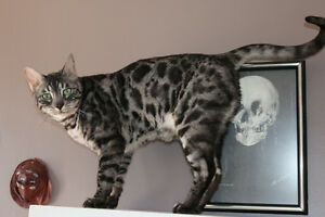 Retired adult Bengal cat,   pair silver/ charcoal silver