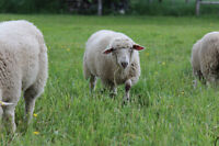 ** Sheep wool available **