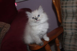 Himalayan and Ragdoll mixed kittens for sale