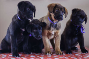 Border Collie Puppies Kijiji In Manitoba Buy Sell Save With