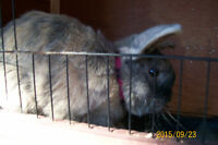 one male dwarf lop-earred bunny and hutch