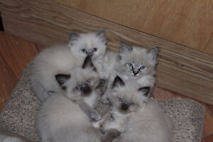 Ragdoll- Himalayan mixed kittens for sale